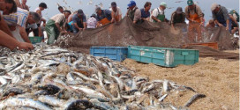 Pesca da Sardinha deve ser suspensa em 2018