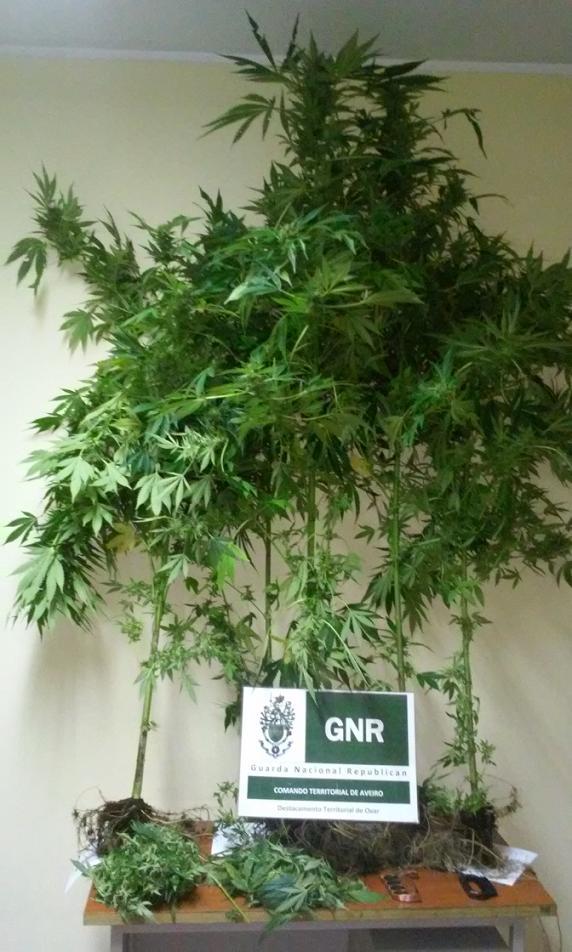 Esmoriz cannabis